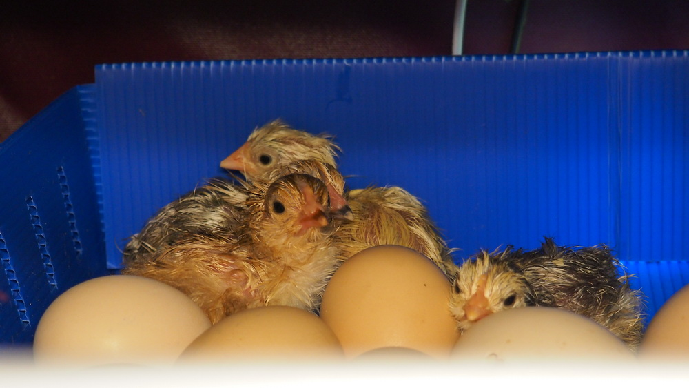 broody_zoom-incubation-at-office