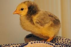 23-день-инкубации-инкубирование-цыплят