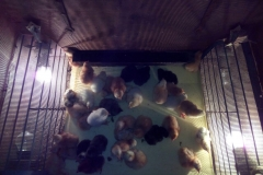 egg_incubator_broody_br-box_09