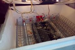 egg_incubator_broody_br-box_12