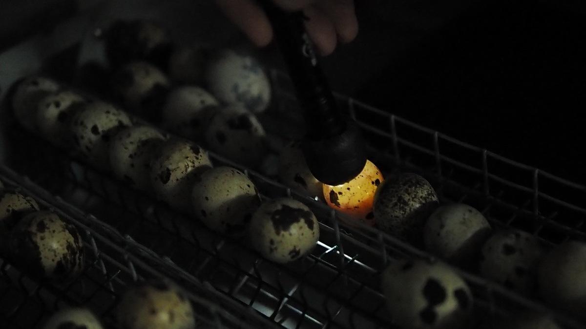Инкубация перепелиных яиц в офисе