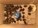 egg_incubation_quails_0034_broody_net