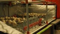 Incubarea oualor de prepeliță în birou