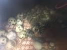 egg_incubation_quails_0032_broody_net