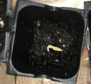 13_resize_grow_microgreen_germinator