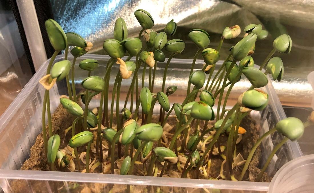 31_resize_grow_microgreen_germinator