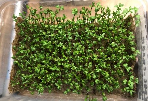 36_resize_grow_microgreen_germinator
