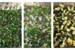 15_resize_grow_microgreen_germinator