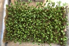 22_resize_grow_microgreen_germinator