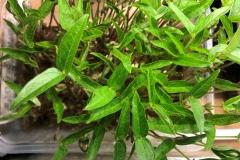 29_resize_grow_microgreen_germinator