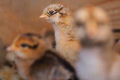 hens hatchability 93%