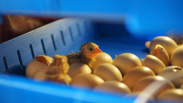 Review Egg Incubator Broody Zoom