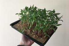 mung-bean_grow_on_a_linen_mat