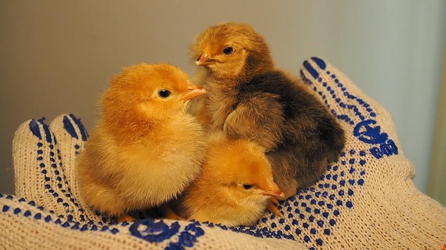 Как считать выводимость яиц в инкубаторе?