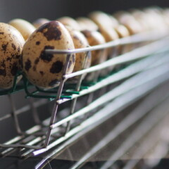 Cassette para incubadora de huevos de huevos de codorniz Broody
