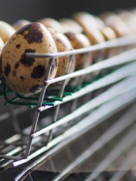 Incubadora para huevos de codorniz