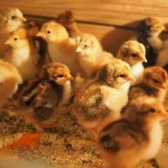 """Incubabilidad incubadora Broody – 93%. La incubación de pollo """"Cochinchina"""" y """"Brahma""""."""