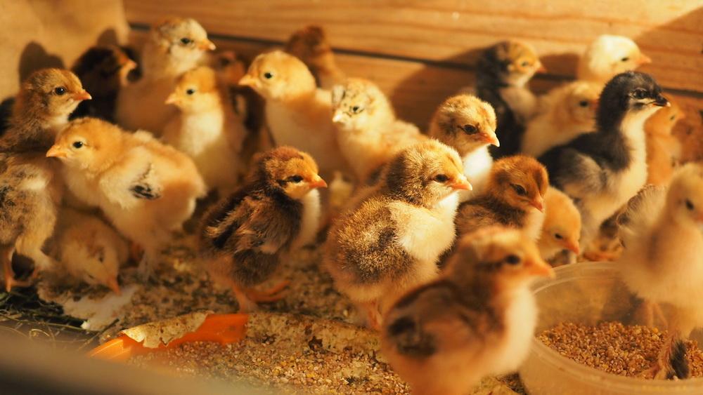 Εκκολαπτικότητα – 93%. Η επώαση του κοτόπουλου «Cochin Κίνα» και «Brahma».
